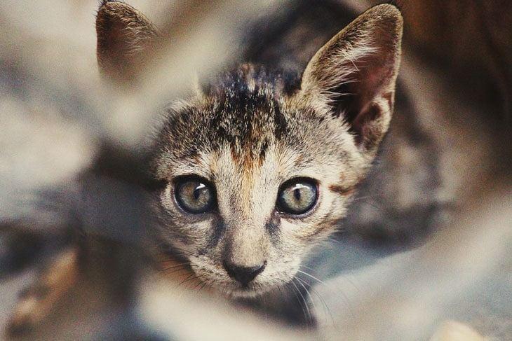Characteristics of a Kitten