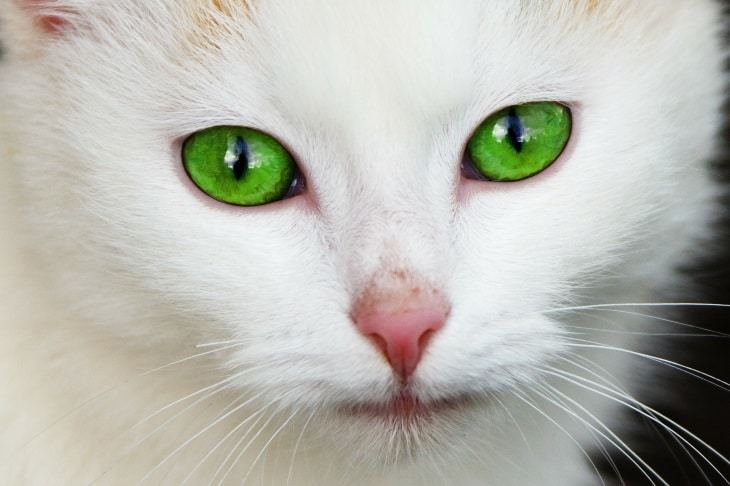 Facts about Cats with big blue eyes