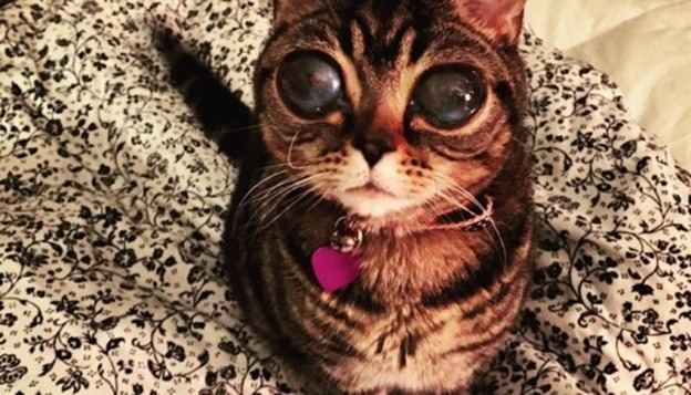 health cat breeds with big eyes