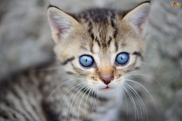 The Cat Breed And Small Cats Breed small Cats breed with their characteristics