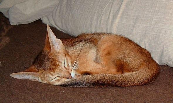 tabby cat Ticked