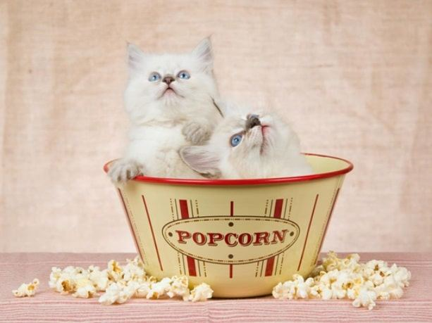 Popcorn Bad for Cats